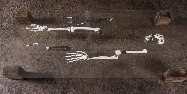 Reconstrucción del esqueleto de Danuvius