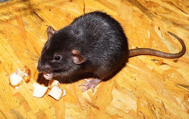 Una rata negra