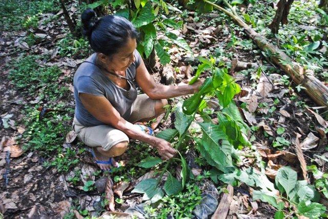 """Una mujer kichwa muestra """"lenchig"""" (Vernonanthura patens (Kunth) h. Rob., Familia Asteraceae) creciendo en su jardín. Una decocción de las hojas de esta planta se usa como analgésico."""
