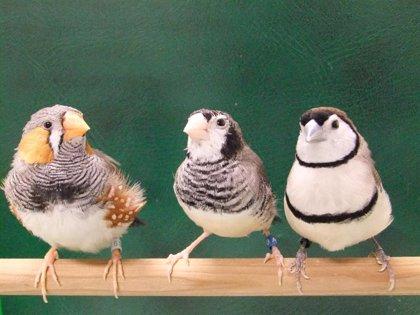 Identifican las neuronas de aprendizaje en pájaros cantores