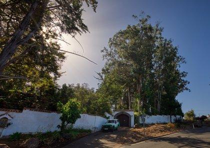 Catalogados unos 85 árboles de Gran Canaria como singulares por su porte o su antigüedad de hasta 400 años