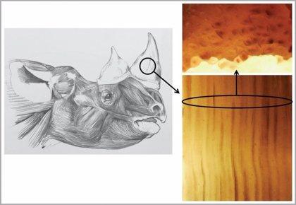 Cuernos falsos bioinspirados para salvar al rinoceronte del furtivismo
