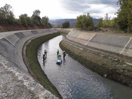 Endesa rescata 186 truchas en el canal de Gavet (Lleida) antes de vaciarlo por obras de mejora