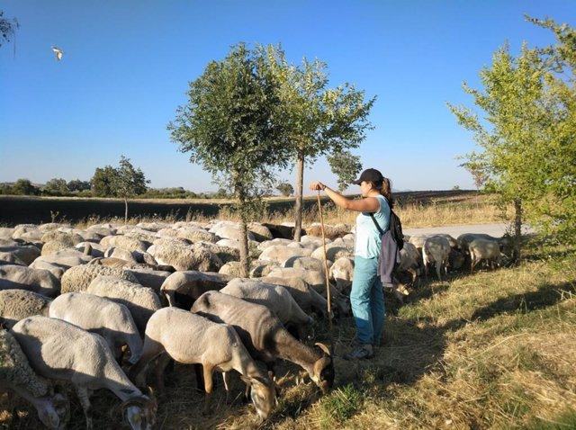 Pastor con ovejas en Andalucía