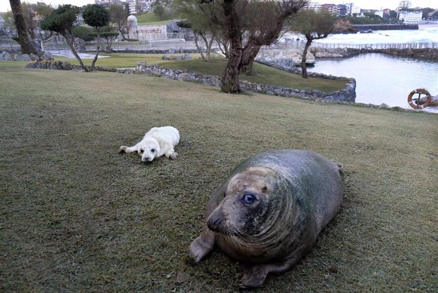 La nueva cría de foca gris junto a su madre en el minizoo de La Magdalena