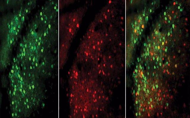 Neuronas excitadoras (verdes) e inhibidoras (rojas), mostradas en esta imagen microscópica del cerebro de un ratón, responden más rápida e inmediatamente a medida que el animal mejora en la realización de una tarea.