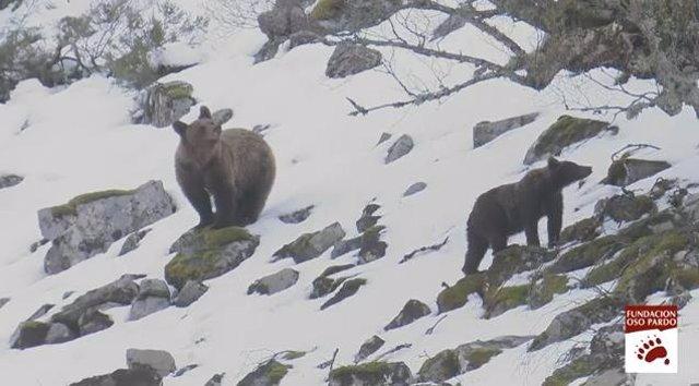Osos Pardos avistados en la Cordillera Cántabrica