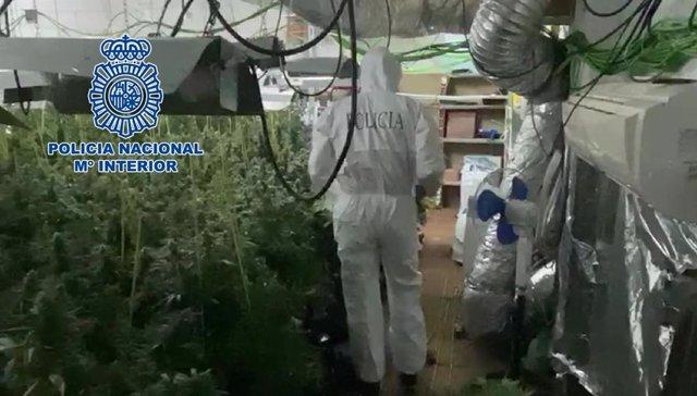 La plantación de marihuana desmantelada por la Policía Nacional en Villarrubia.