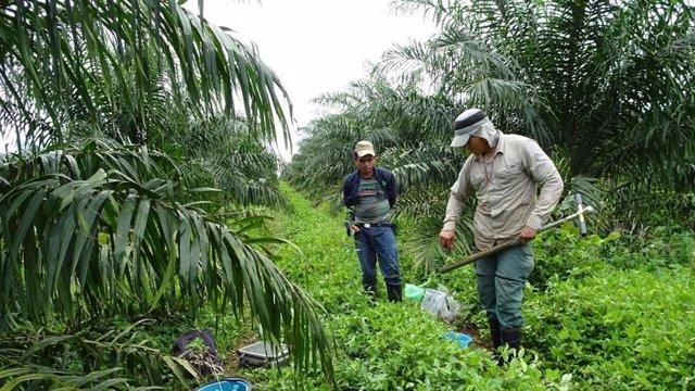 Cultivo de aceite de palma