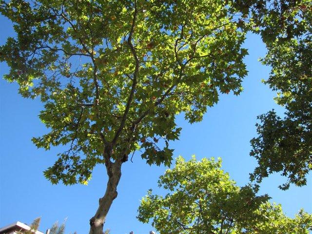 Platanero, Plataneros, árboles de Barcelona