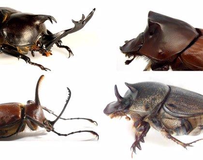 Científicos revelan las fuentes evolutivas de los cuernos de escarabajo