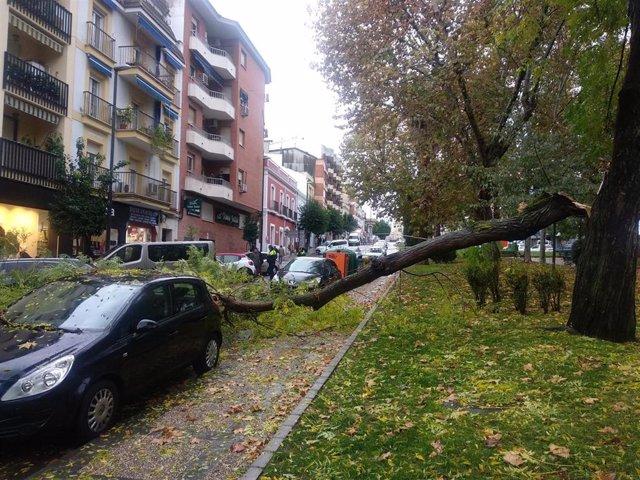 Rama de un árbol caída en la Rambla Santa Eulalia de Mérida