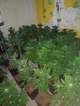 Desmantelan un cultivo con 211 plantas de marihuana en el desahucio de una vivienda de la Junta