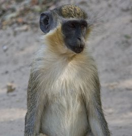 Mono verde, chlorocebus sabaeus
