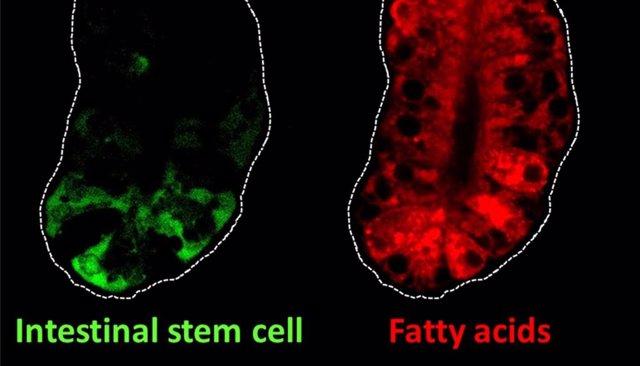 Esta imagen muestra células madre intestinales (verdes) y ácidos grasos (rojos) en el intestino de los ratones.
