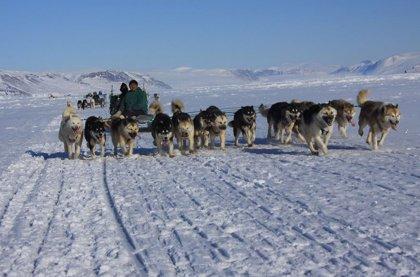 Perros de trineo únicos ayudaron a los inuit a prosperar en el Ártico