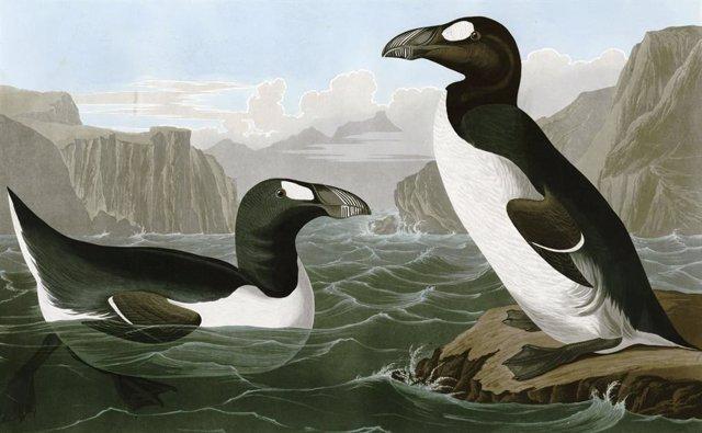 La caza empujó a la extinción al 'pingüino' del hemisferio norte