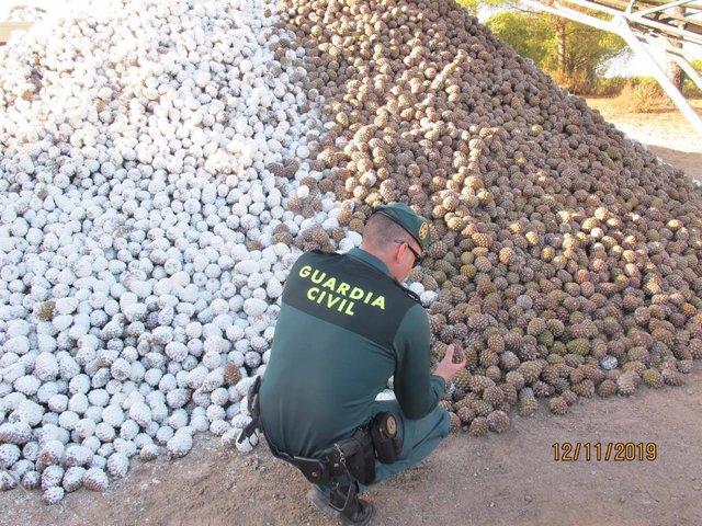 Gran cantidad de piñas intervenidas por la Guardia Civil, en colaboración con la Delegación de Agricultura.