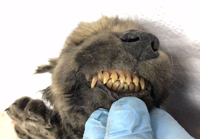 Un cachorro congelado hace 18.000 años no revela si es perro o lobo