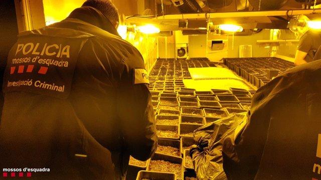 Mossos d'Esquadra desmantellen una plantació de marihuana en una nau de Tarragona.