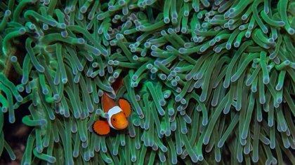 Parece que Nemo no podrá salvarse del cambio climático