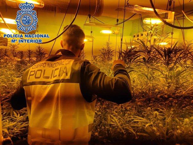 Nota De Prensa: Desmantelada En Jerez De La Frontera Un Cultivo Indoor De Cannabis Sativa Con Más De 150 Plantas