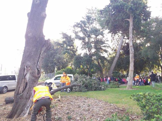 Operarios talan la encina centenaria enferma en el Parc de Can Vidalet