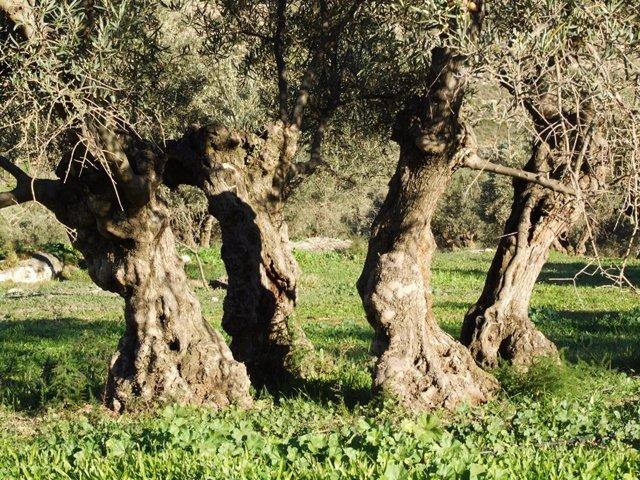 """Ecologistas aplaude la suspensión de la recogida nocturna en el olivar superintensivo por """"posible daño a las aves"""""""