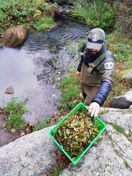 Imagen de agentes forestales retirando la planta invasdora en el río Manzanares.