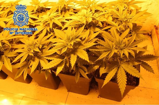 Plantas de marihuana incautadas en distrito Norte de Granada