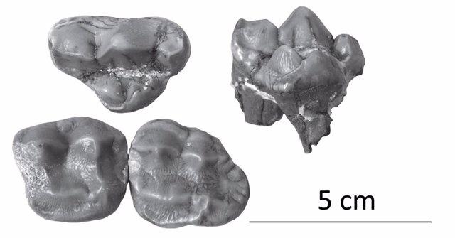 Montaje con los dientes del último oso panda de Europa