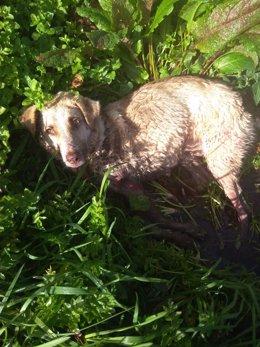 La perra que fue disparada y golpeada por un cazador este sábado en el municipio lucense de Chantada.