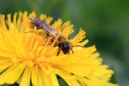 Galicia cuenta con más de 3.500 explotaciones apícolas, que la Eurocámara quiere proteger de los pesticidas