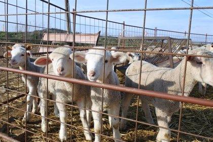 C-LM es declarada oficialmente región indemnde a la brucelosis ovina y caprina