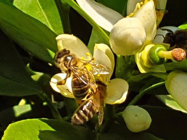 Unas abejas extraen polen de una flor