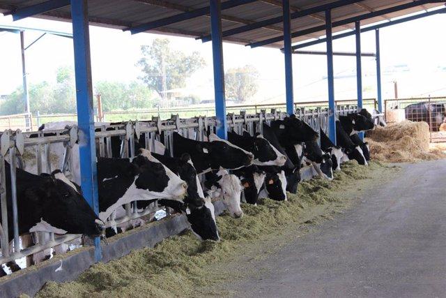 Vacas.