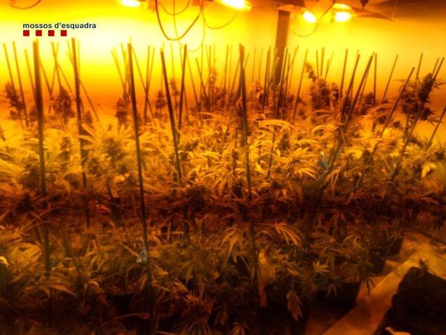 Imatge de la plantació de marihuana.