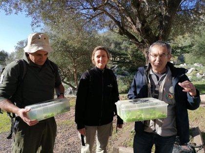 Liberan 88 ejemplares nuevos de sapillo balear en la Serra de Tramuntana