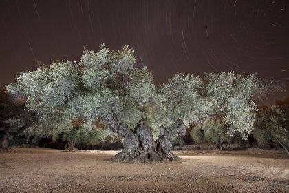 El Olivo de Sinfo, en Traiguera (Castellón), es elegido como el Mejor Olivo Monumental del Mediterráneo por Recomed