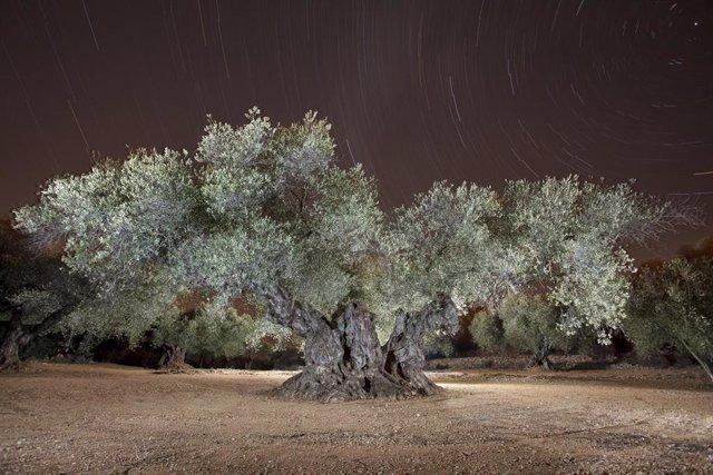 El Olivo de Sinfo, en Traiguera (Castellón)
