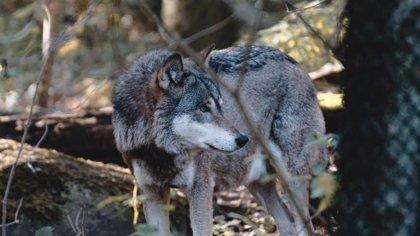 Matan a un lobo que participaba en un proyecto de geolocalización de la Comunidad