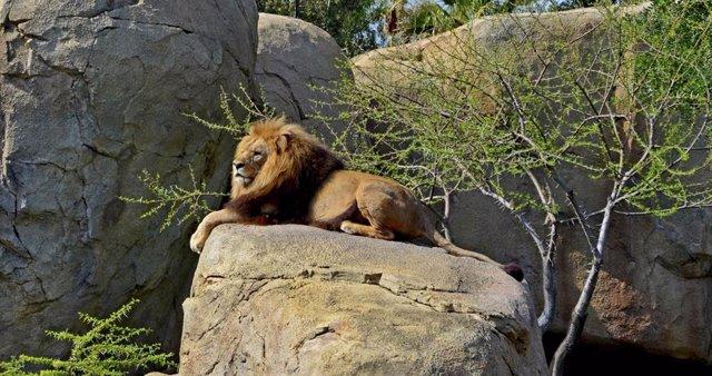 Muere Teimoso, el león de Bioparc Valencia