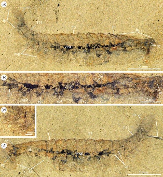Muestras presentadas como tejido neuronal fosilizado