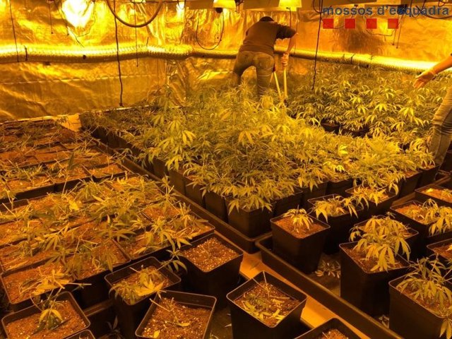 Plantació de marihuana desmantellada pels Mossos d'Esquadra.