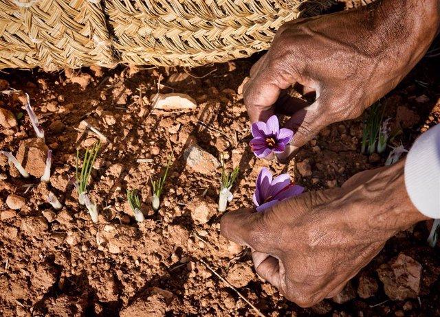 La obra 'Recogiendo la Flor', de Antonio Suarez Vega, gana el V Certamen de Fotografía sobre el azafrán.