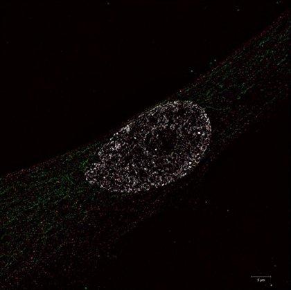 Identifican una proteína clave vinculada al envejecimiento