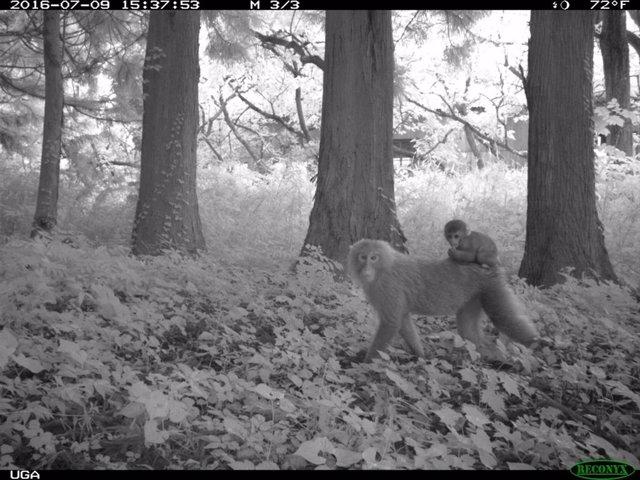 Macacos en los alrededores de Fukushima (Japón)