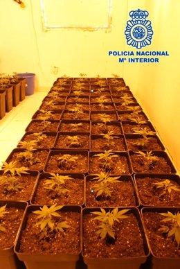 Imagen de los esquejes de cultivo incautados por la Policía Nacional en una de las operaciones realizadas