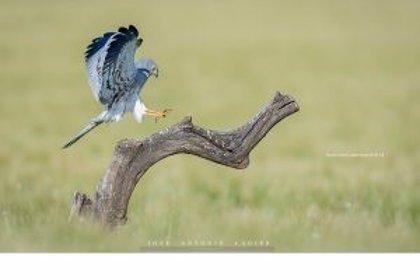 El alcaudón real, la codorniz común y el aguilucho cenizo, candidatas a ave del año 2020 por SEO/BirdLife