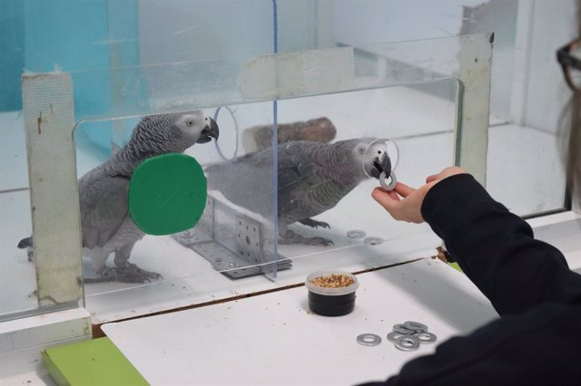 Experimento con loros grises africanos